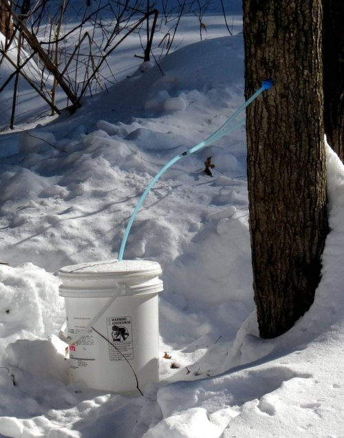 13. Maple Sugaring