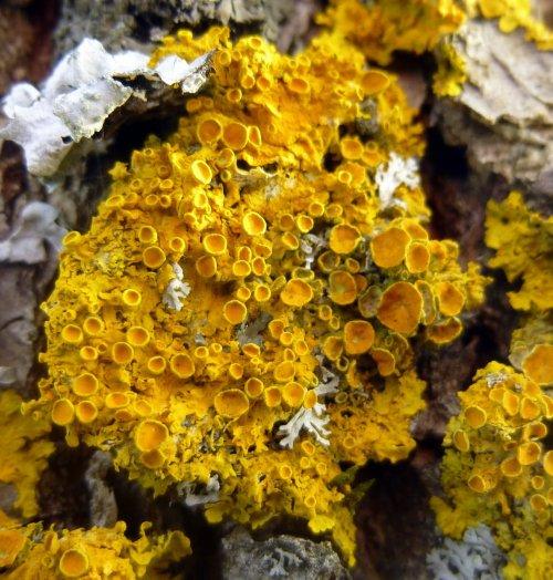 2. Poplar Sunburst Lichen