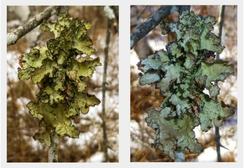 3. Foliose Lichen Comparison