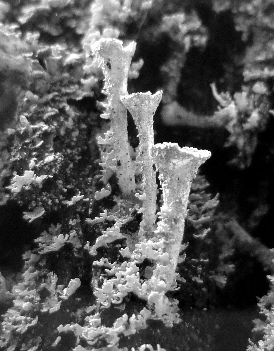 3. Pixie Cup Lichens