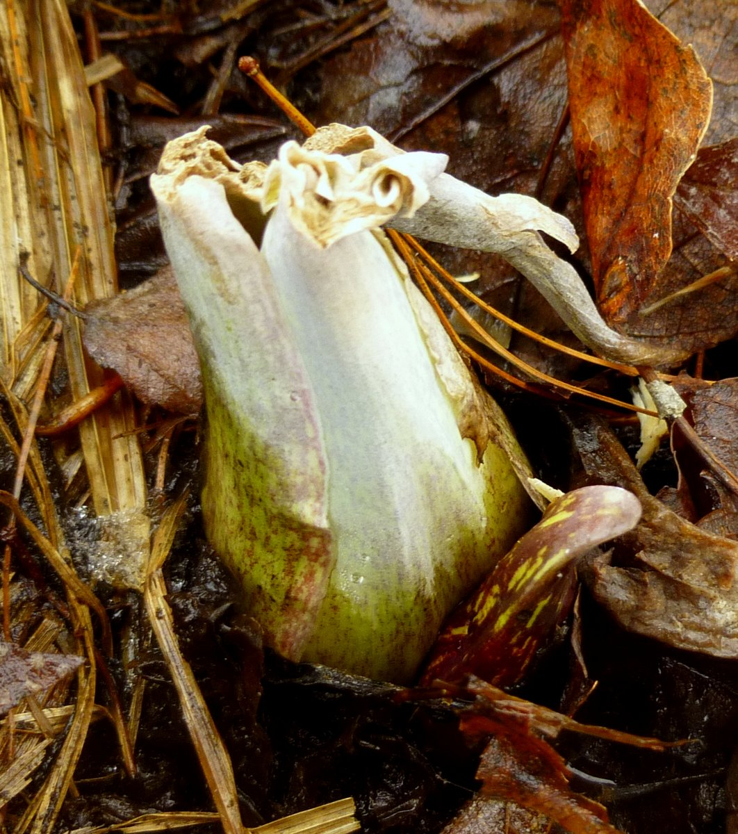 3. Skunk Cabbage