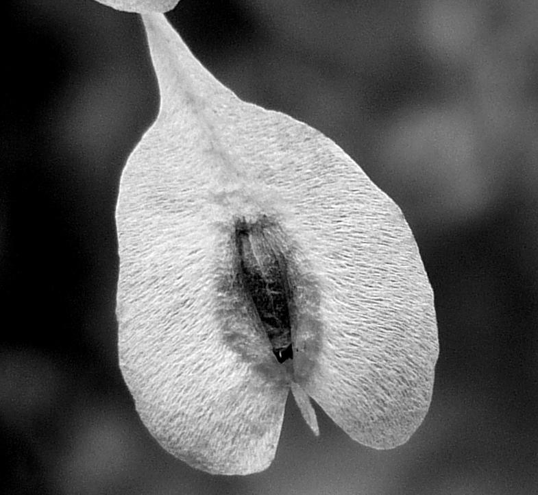 4. Japanese Knotweed Seed