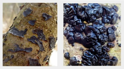 5. Black Jelly Fungus