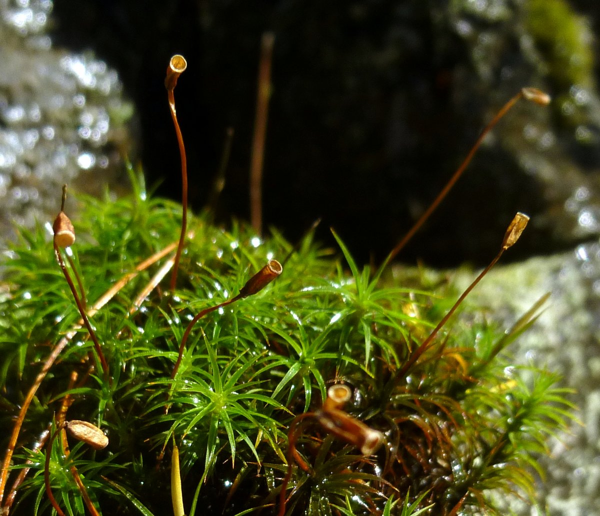 5. Mountain Haircap Moss
