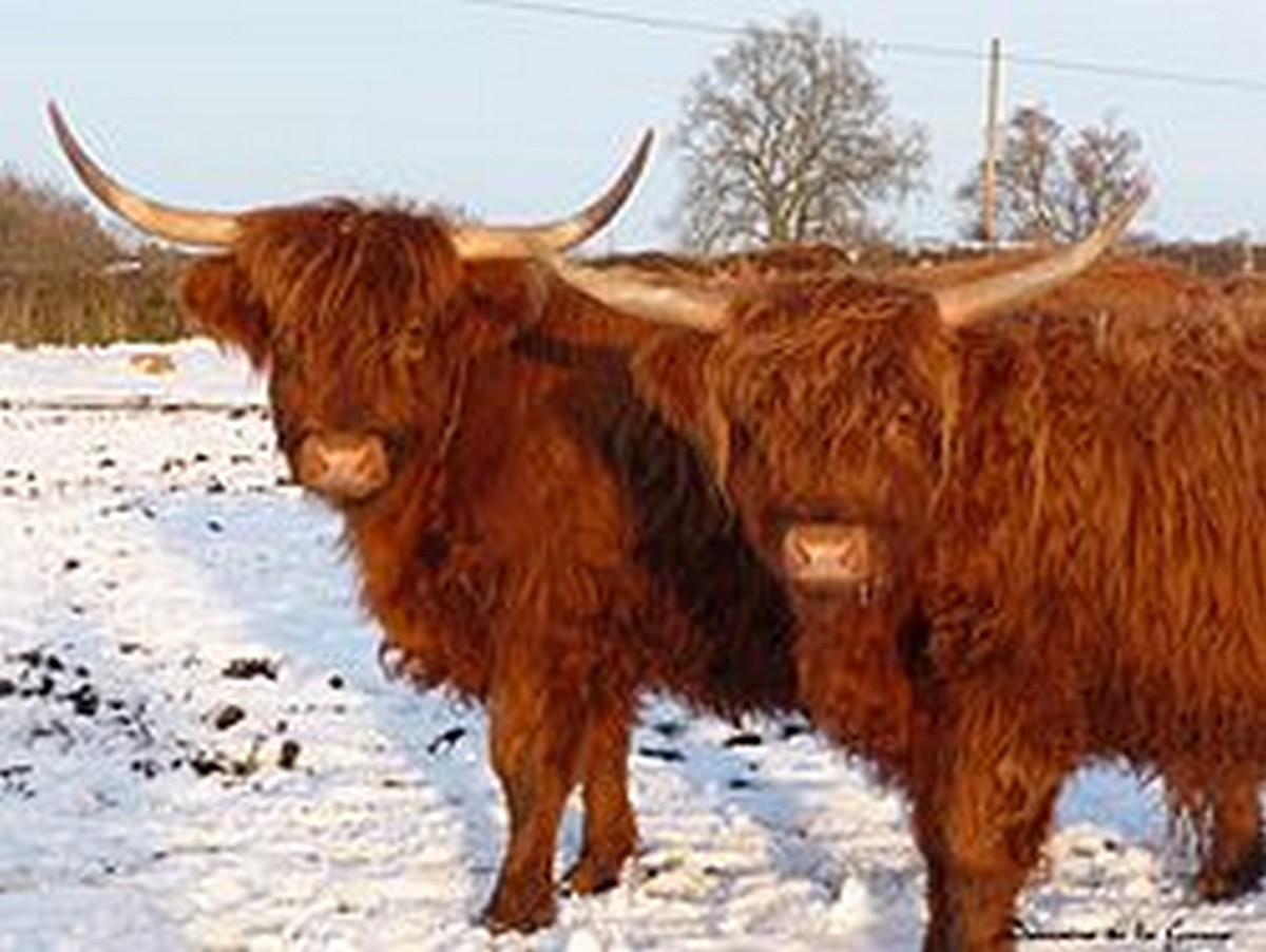 Scottish highland cattle look well equipped for our winter weather