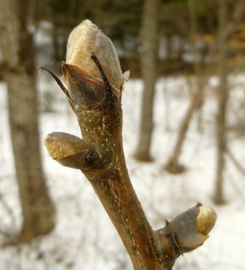 5. Shagbark Hickory Bud