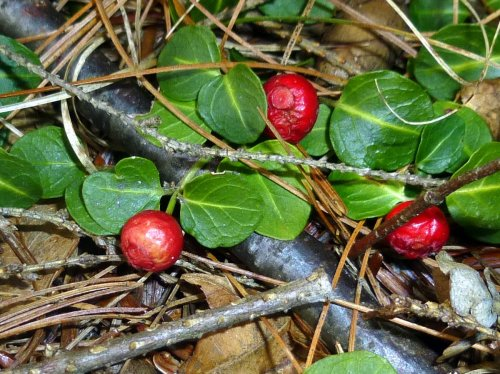 6. Partridge Berries
