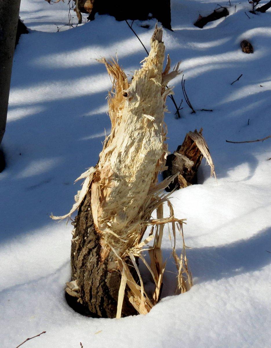 7. Pileated Woodpecker Stump