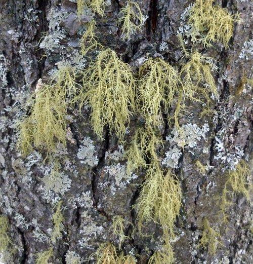 8. Beard Lichens