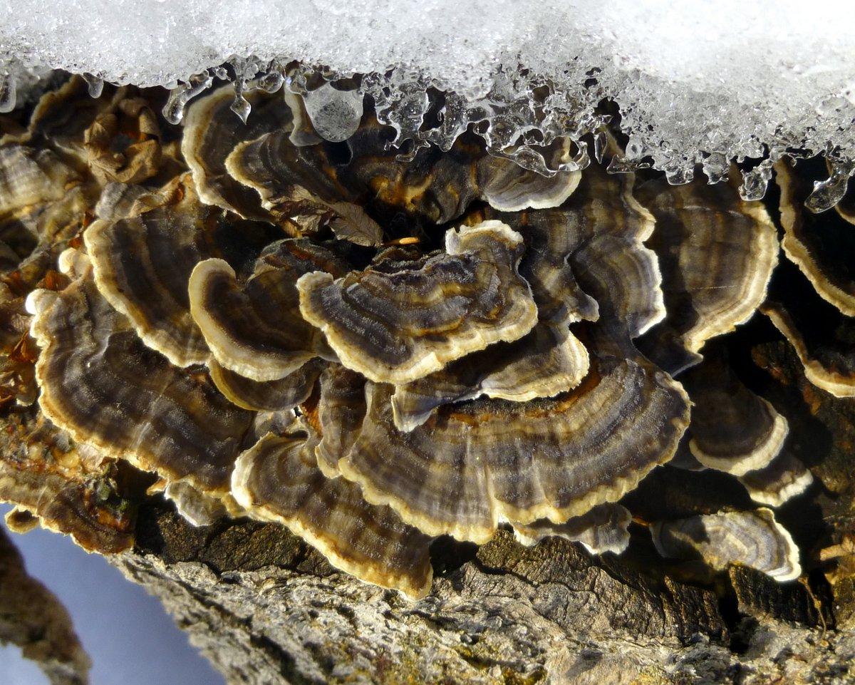 8. Smoky polypore aka Bjerkandera adusta or White Rot Fungus