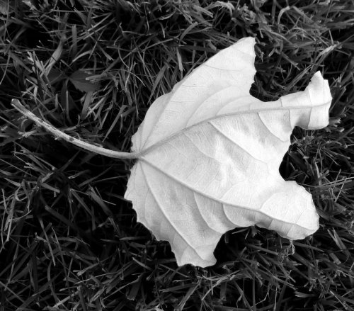 8. White Poplar Leaf