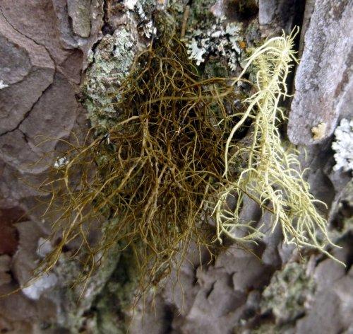 9. Fishbone Beard Lichen aka Usnea fillipendula with Unknown Green Beard