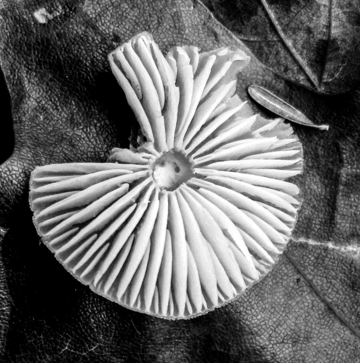 9. Mushroom Gills