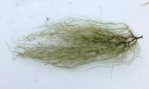 10. Beard Lichen