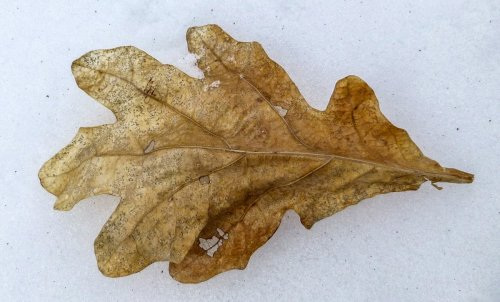10. Oak Leaf on Snow