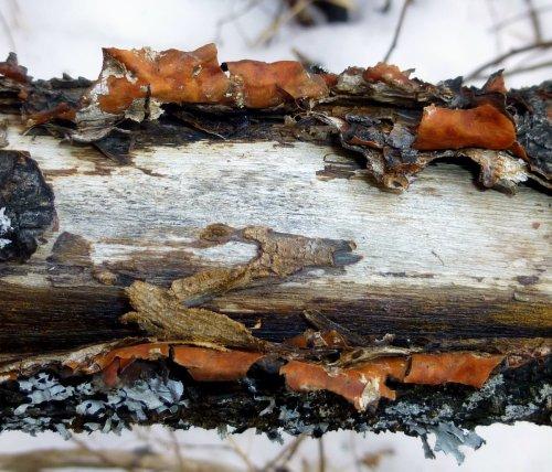 10. Staghorn Sumac Inner Bark