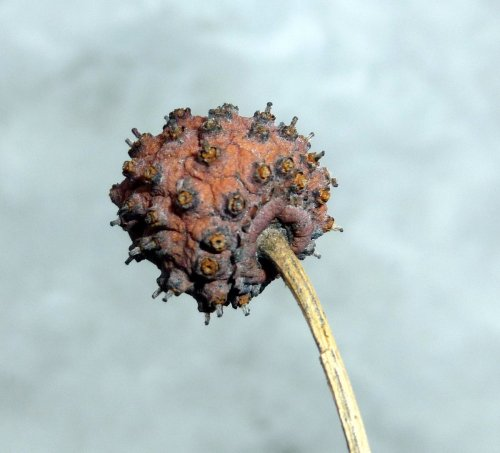 10. Sycamore Fruit