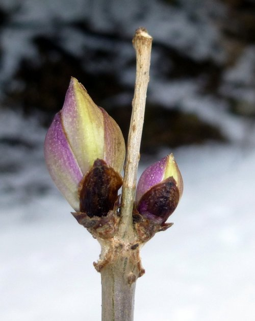 11. Elderberry Buds