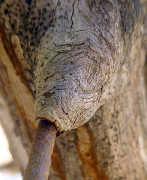 11. Wire Through Pine Limb Closeup