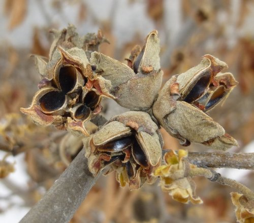 11. Witch Hazel Seed Pods