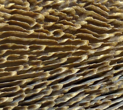 12. Gilled Bracket Fungus Closeup