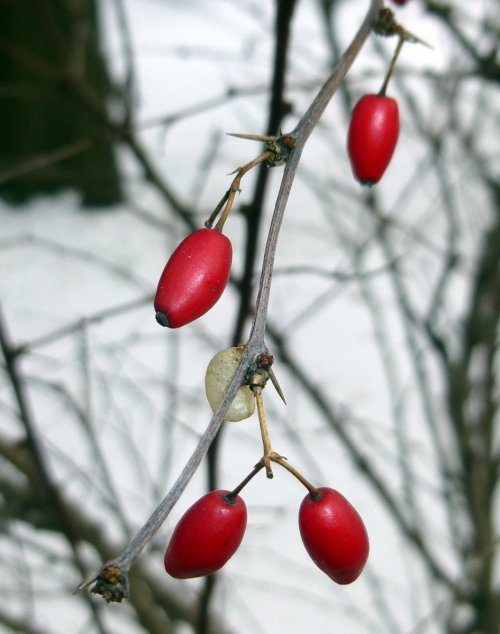 13. Barberry Berries