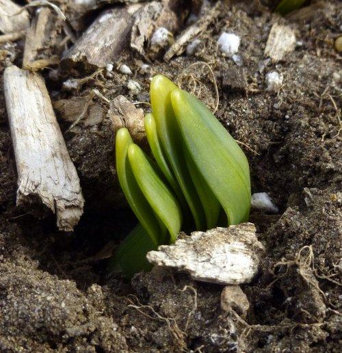 14. Daffodils