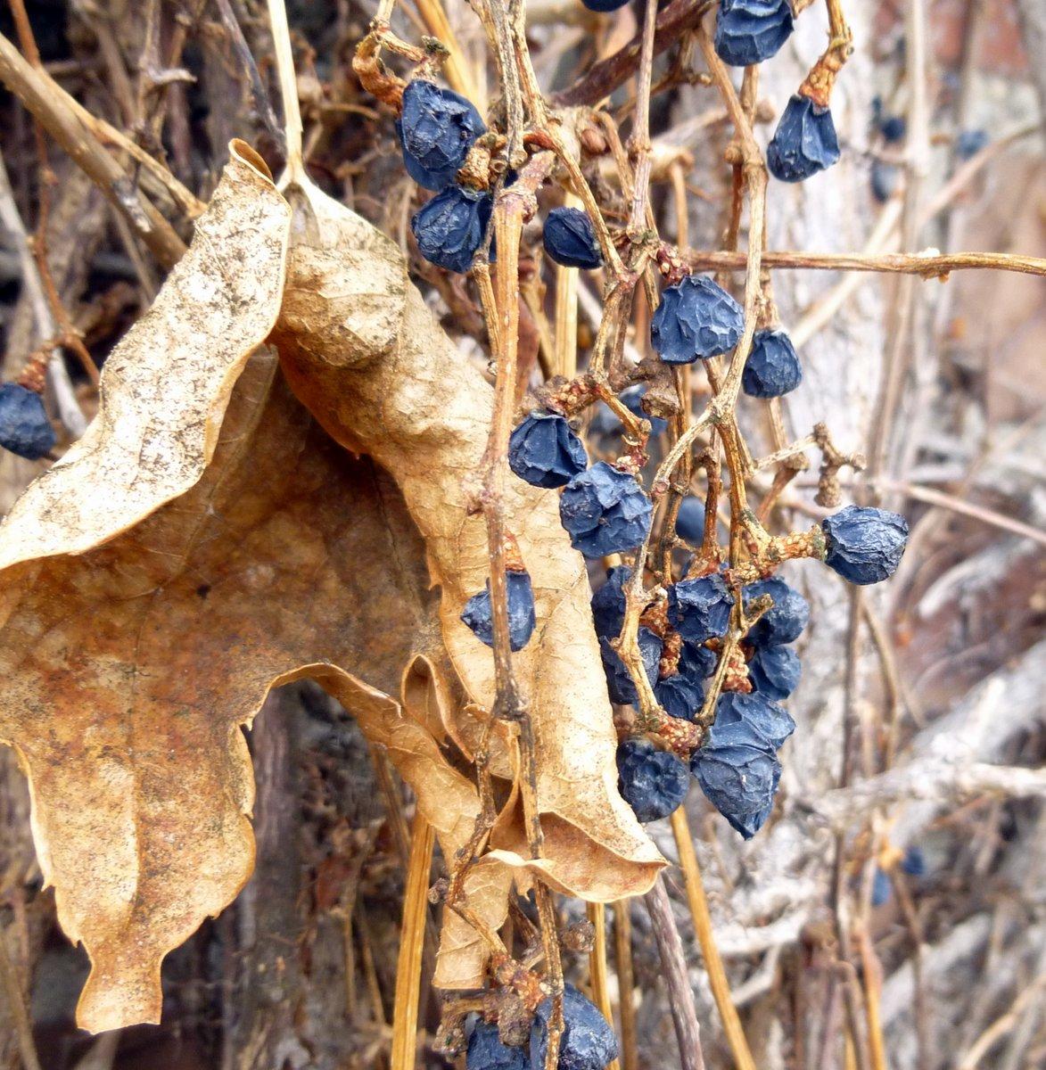 3. Boston Ivy Berries