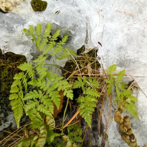 3. Fern on Ice