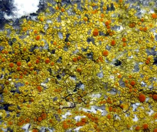 3. Sulfur Firedot Lichen aka Caloplaca flavovirescens