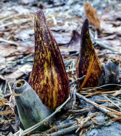 4. Skunk Cabbage