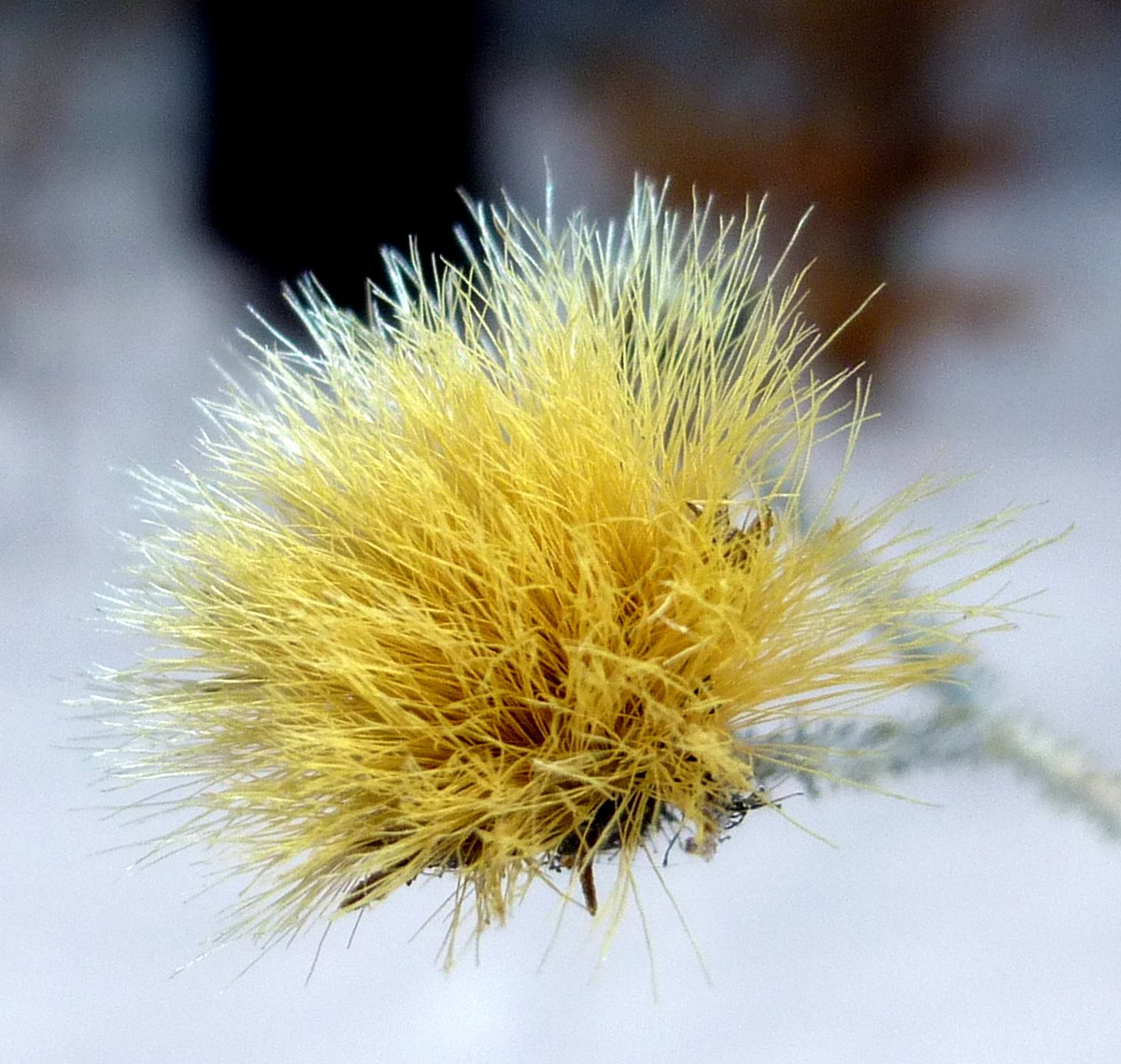 5. Aster Seed Head