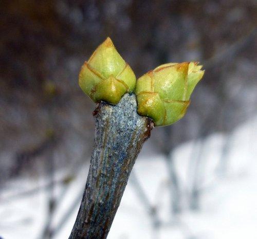 5. Lilac Buds