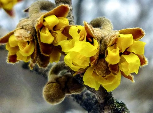 5. Vernal Witch Hazel