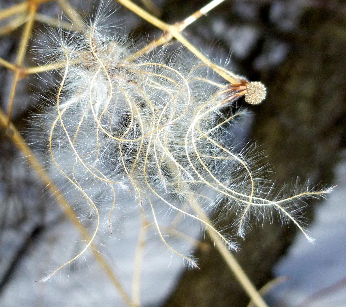 5. Virgin's Bower Seeds