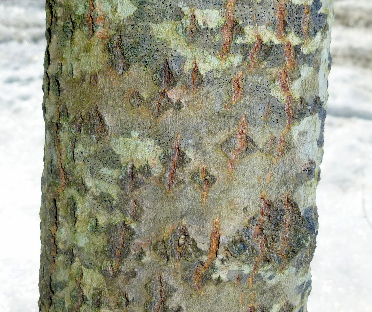 Poplar tree bark identification