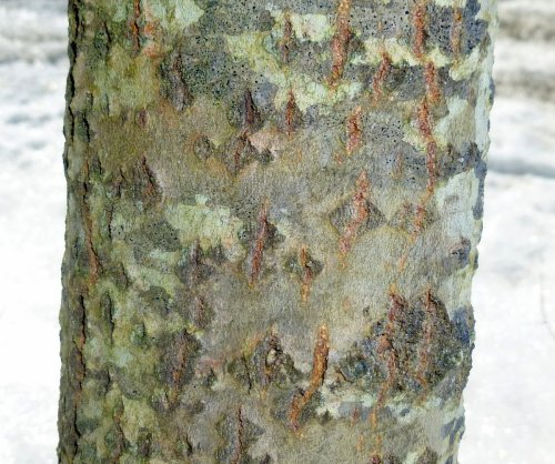 5. White Poplar Bark