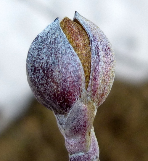 6. Cornelian Cherry  Bud  aka Cornus mas