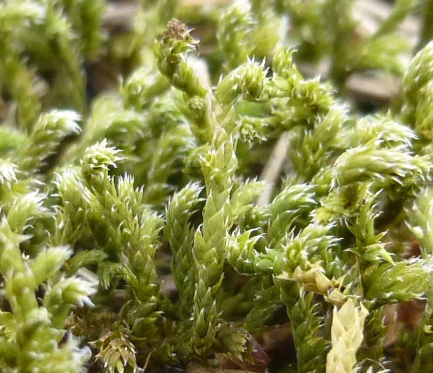 6. Hedwigia cillata Moss