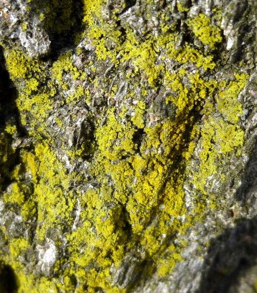 7.  Powdery Goldspeck Lichen aka Candelariella efflorescens