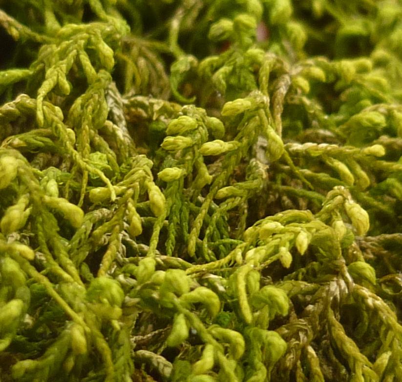 7. Slender Tail Moss aka anomodon attenuatus