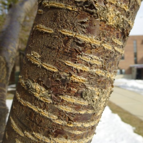 8. Lenticels in Bark