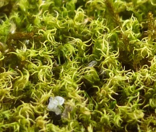 8. Moss aka Dicranoweissia cirrata