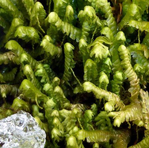 9. Greater Whipwort Liverwort Closeup aka Bazzania trilobata
