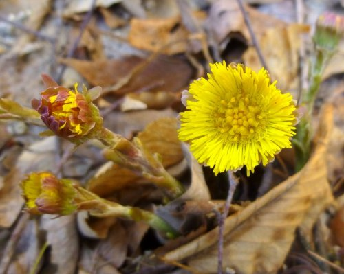 1. Coltsfoot