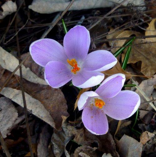 1. Purple Crocus