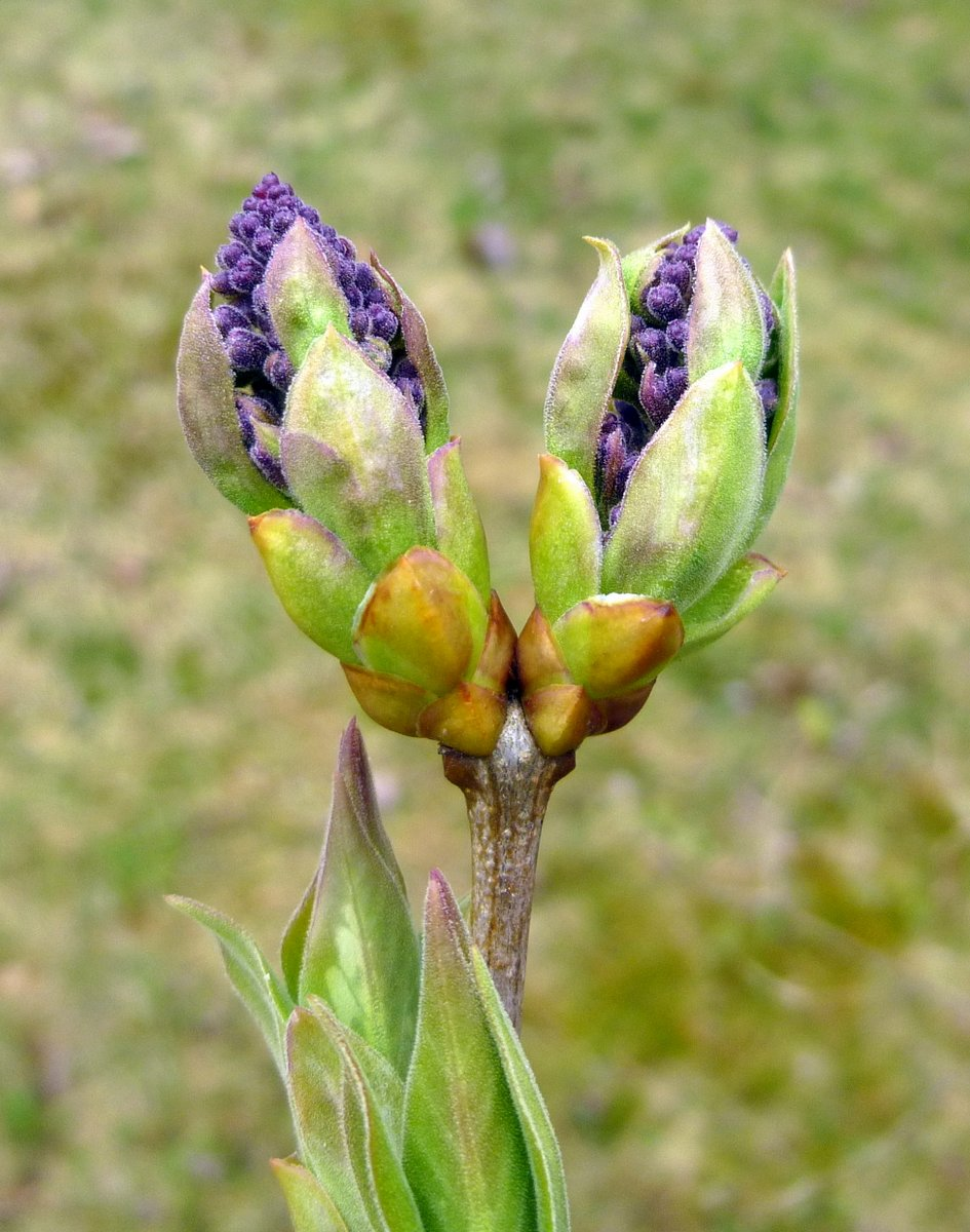 10. Lilac Buds Breaking