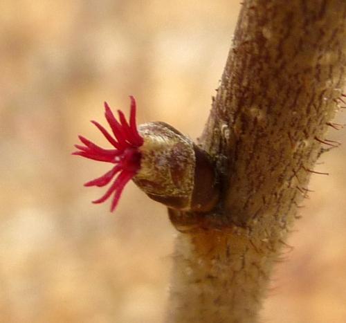 12. Female American Hazelnut Flowers