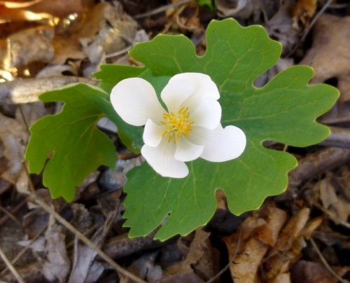 13. Blood Root Opening