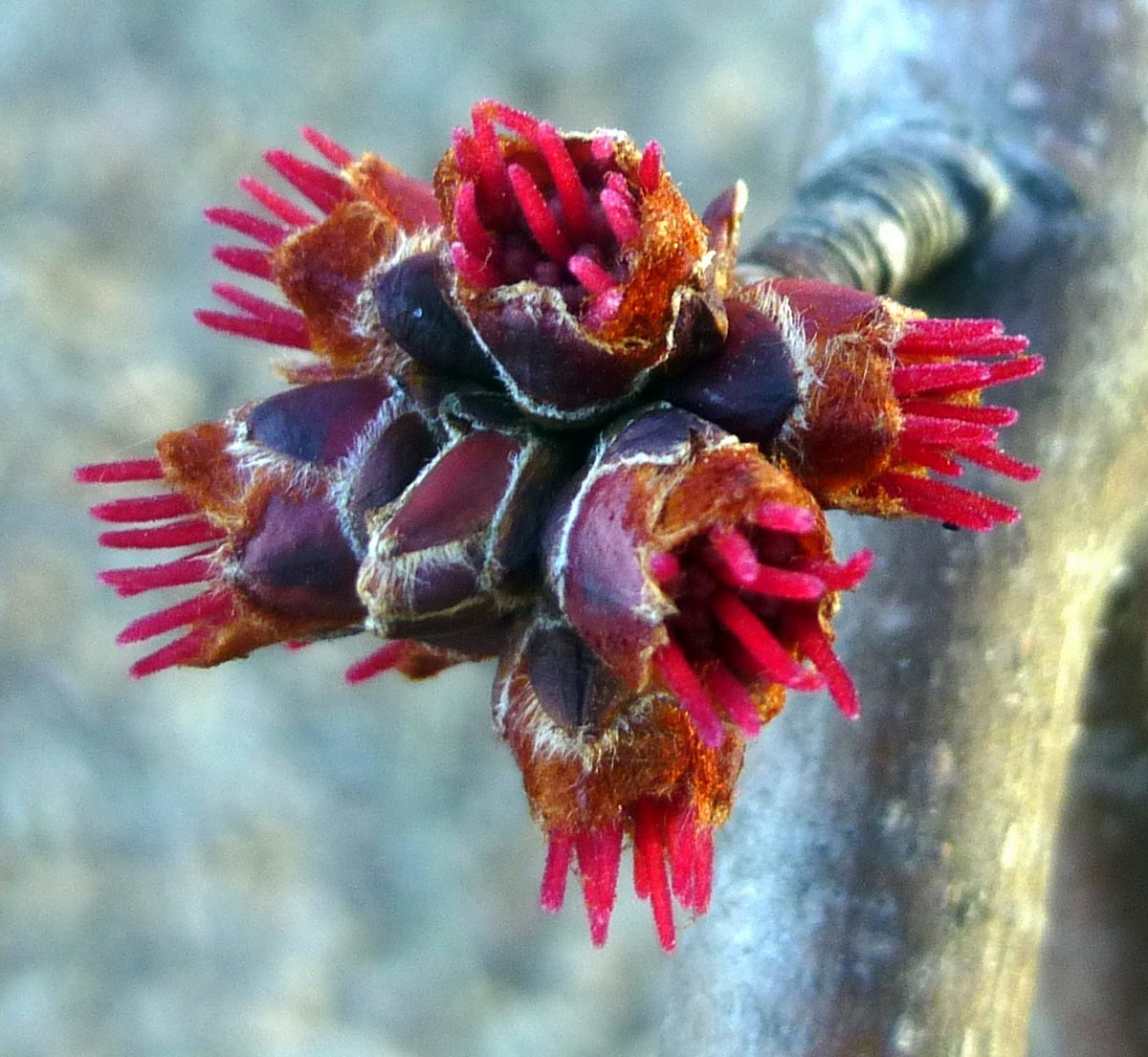 13. Female Red Maple Flowers